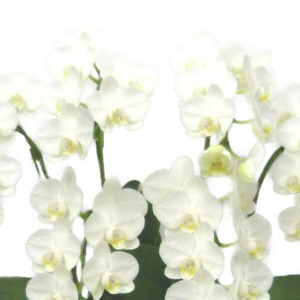 ミディ胡蝶蘭 アマビリス 白 6本立ち 45輪以上