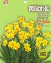 お徳用水仙「黄房咲き水仙」10球入 球根