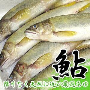 特別な鮎を市場より厳選!! 旬の香りアユ 【超新鮮な鮎を厳選してお届けします。】【養殖】【あゆ】【アユ】【鮎】【香魚】【送料無料】
