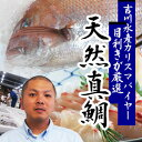 【送料無料】今が旬!超新鮮!天然真鯛 1尾(約1.5kg)【楽ギフ_包装選択】【楽ギフ_のし】