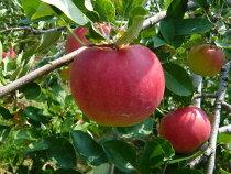 一番最初のもぎたてりんご