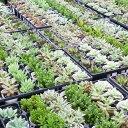 <当店農園直送> 多肉植物 12ポットアソート 寄せ植え