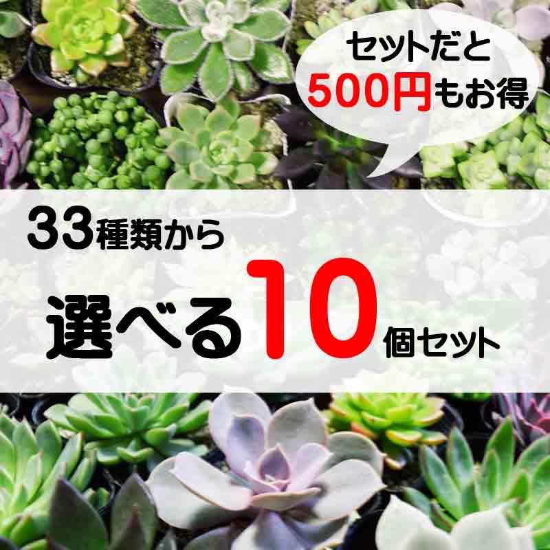 33種類から選べる 10個セット 多肉植物 寄せ植え セット ハオルチア エケベリア セダム
