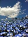 ネモフィラ種子 インシングニスブルー 10ml 【花の種】【タキイのタネ】【緑化事業】