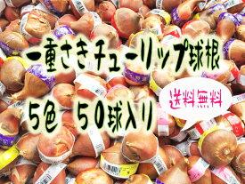 【送料無料】 複数購入で特典あり!! お得な一重咲チューリップ球根 5色 50球(赤、白、黄、紫、桃)