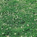 【緑肥 景観用種子】しろクローバー フィア リゾコート種子 1袋(500g) 【シロツメグサ】【グランドカバー】【…