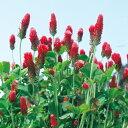 【緑肥 景観用種子】クリムゾンクローバー ディクシー 1袋(500g)【緑肥】