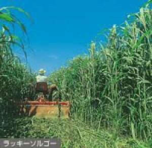 緑肥用種子 ソルガム ラッキーソルゴーNeo 1kg【緑肥、景観用の種】【タキイのタネ】【ガーデニング】