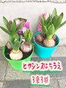 ヒヤシンス4号鉢植え 3球3色 1鉢(紫、白、桃 or薄紫、マゼンタ、黄)のどちらかになります 1鉢