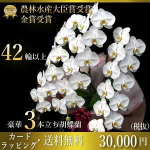 プレミアム胡蝶蘭大輪3本立ち42輪〜47輪(つぼみ含む...