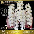 【90代男性】米寿や卒寿のお祝い!豪華な胡蝶蘭ギフトを教えて!【予算50,000円】