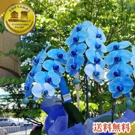 珍しい胡蝶蘭 青い胡蝶蘭 ブルーエレガンス胡蝶蘭3本立ち松浦園芸正月