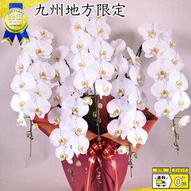 胡蝶蘭5本立ち45輪以上 蕾含む 九州地方 福岡県、佐賀県、長崎県、熊本県、大分県、宮崎県、鹿児島県