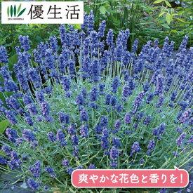 北海道の ラベンダー 大株苗 1ポット