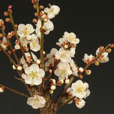 小品盆栽:白梅(瀬戸焼小鉢)*【楽ギフ_包装】【楽ギフ_メッセ入力】【あす楽対応】