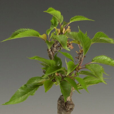 ミニモダン盆栽:一才桜