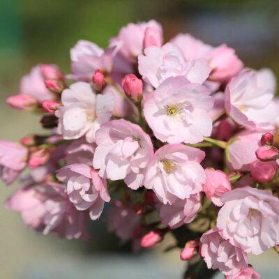 盆栽:一才桜