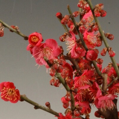 盆栽:紅白梅B(瀬戸焼鉢)