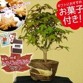 小品盆栽:山もみじ(瀬戸焼小鉢)もみじの天ぷらセット*【送料無料】