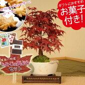盆栽:出猩々もみじ(瀬戸焼小鉢)もみじの天ぷらセット【送料無料】