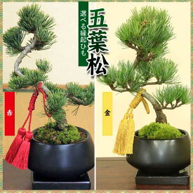盆栽:五葉松(モダン鉢)受け皿付き*☆【送料無料】【あす楽対応】【ぼんさい ボンサイ】【お歳暮】bonsai