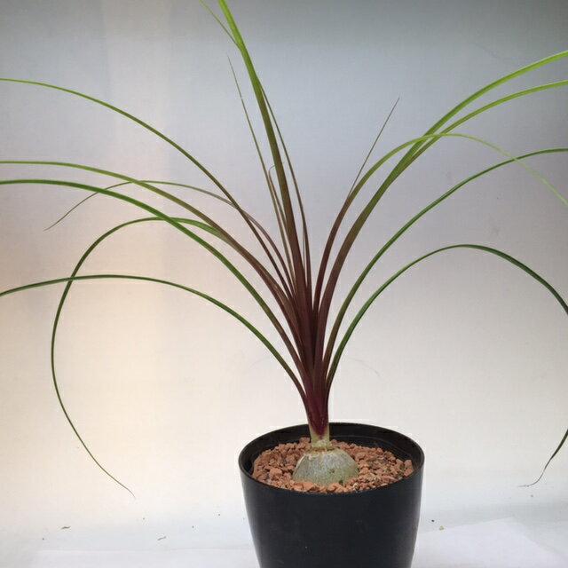 ミニ観葉植物:ノリナ『子ぶたのしっぽ』(トックリラン)