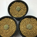 多肉植物:プセウドリトス・クビフォルメ*幅1.5cm