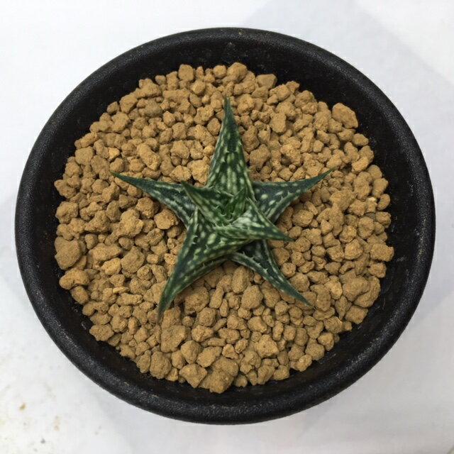 多肉植物:アロエ ディスコイングシー*幅4cm