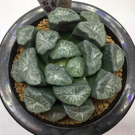 多肉植物:ハオルチア 万象 金子氏白線稲妻*幅8.5cm【現品!一品限り】