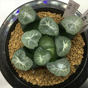 多肉植物:ハオルチア 万象 ドラゴン実生*幅7cm【現品!一品限り】