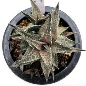 多肉植物:ハオルチア 竜鱗*M 幅9cm