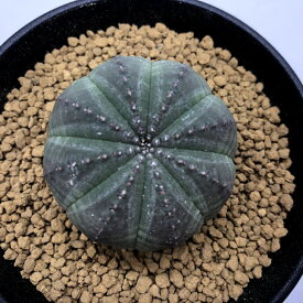 多肉植物:ユーフォルビア オベサ M*幅4cm