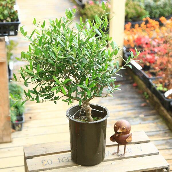 観葉植物:オリーブの木 (5号)シプレッシーノ*Cipressino【SOUJU(創樹)】