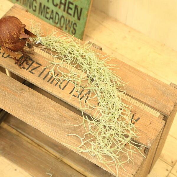 観葉植物:チランジア エアープランツ ウスネオイデス*スパニッシュモス