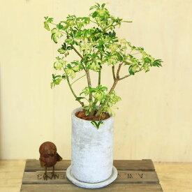 観葉植物:シェフレラ ジャネイ*ロゼッタトールL 受け皿付 バークチップ
