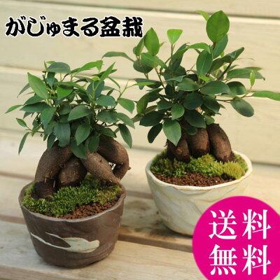 インテリア盆栽:ガジュマル(多幸の樹)【瀬戸焼鉢】*【送料無料】