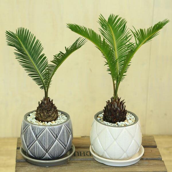 観葉植物:ザミア ソテツ*つぼ型柄入り鉢 受皿付 ゼオライト 蘇鉄