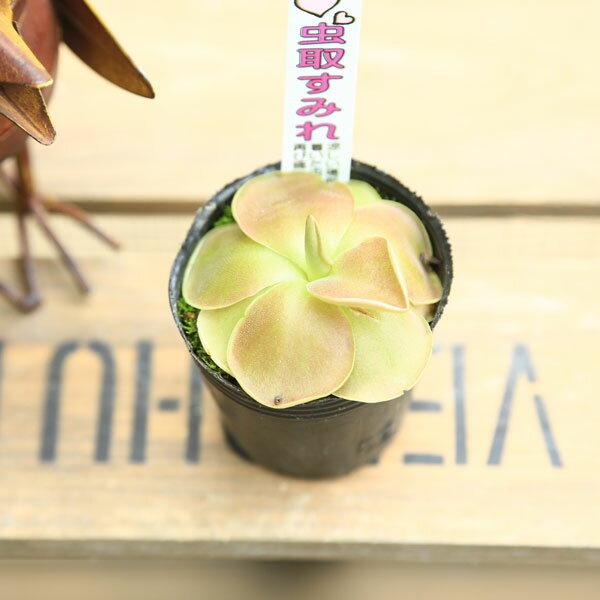 食虫植物:ムシトリスミレ*