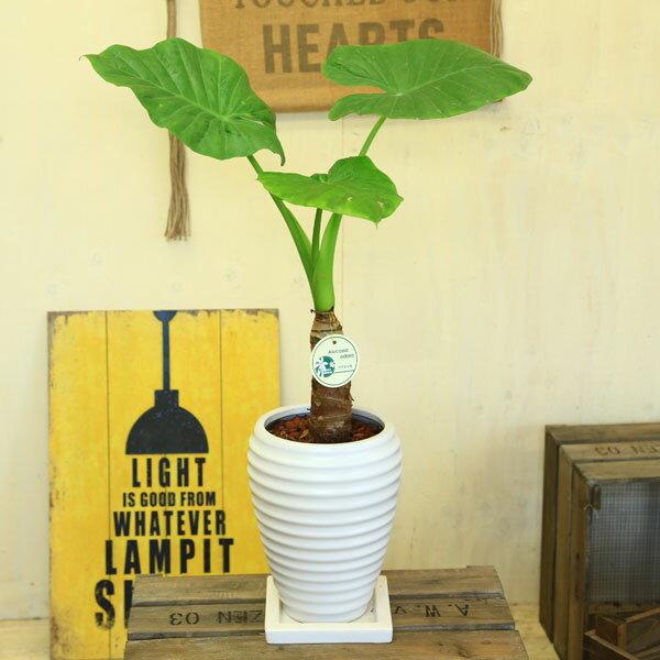 観葉植物:クワズイモ 陶器鉢*くわずいも 丸い受皿付