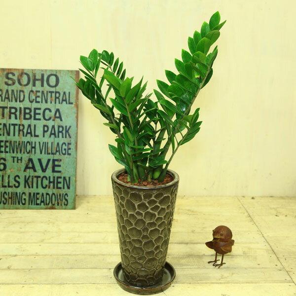 """観葉植物:ザミオクルカス """"ザミフォーリア""""(金銭樹)*陶器鉢(受け皿付)飾りバーク"""