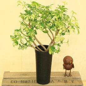 観葉植物:シェフレラ ジャネイ*プラポット