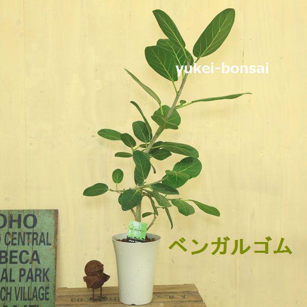 観葉植物 選べるゴムの木:フィカス*バーガンディー ティネケ ベンガル
