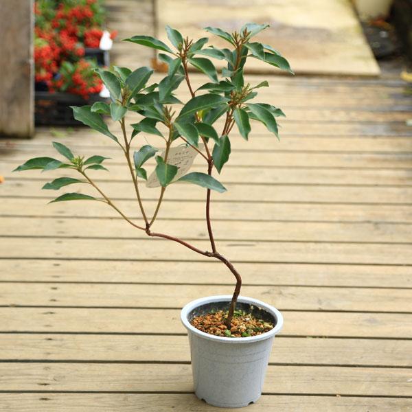 鉢花:カルミア*アメリカシャクナゲ*5号