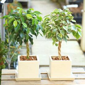 観葉植物:ねじりベンジャミン ベンジャミナ*葉色選べます キューブ陶器鉢 受皿付 バークチップ