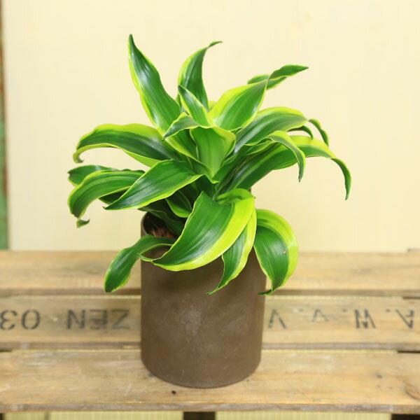 観葉植物:ドラセナ ドラドルコ