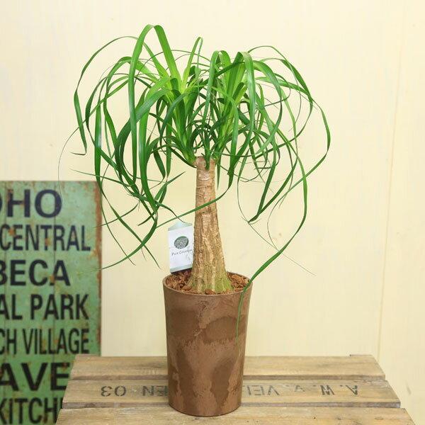 観葉植物:ブコニア ガテマレンシス*