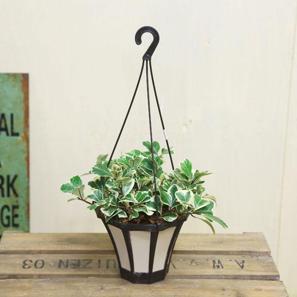 観葉植物:フィカス・スウィートハート*吊り鉢