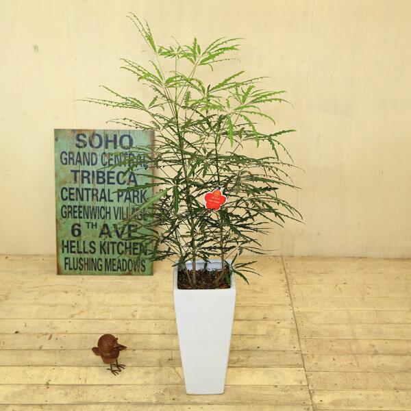 観葉植物:アラレア*あられあ Mse陶器鉢