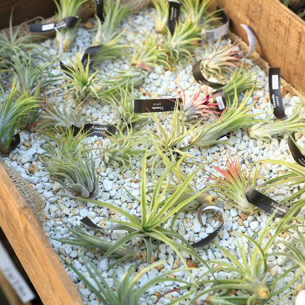 観葉植物:チランジア エアープランツ*3種セット