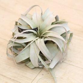 観葉植物:チランジア キセログラフィカ*エアープランツ*